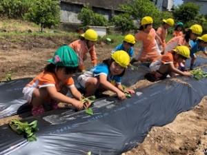 h300509芋の苗植え