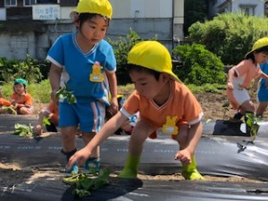 h300511芋の苗植え